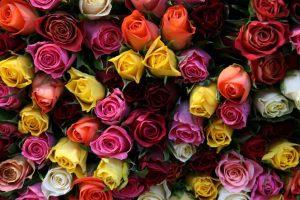 Put ruža – Od Kenije preko EU do Rusije
