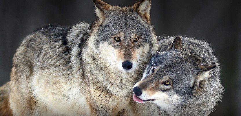 Francuska Vlada predstavila plan za zaštitu vukova