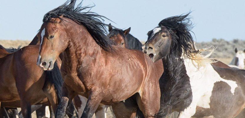 Svi divlji konji su zapravo izumrli