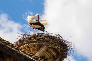 Mužjak bele rode Prvoje prvi stigao u Taraš