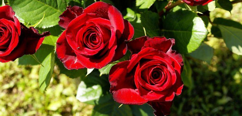 Ruže najbolje cvetaju u Srbiji i na jugu Francuske