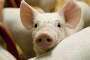Danska – jedina zemlja gde ima više svinja nego ljudi