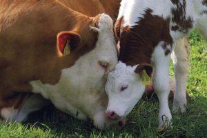 Stočari će teletom plaćati deo krave