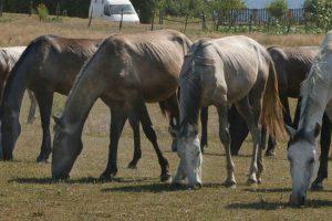 Uzgoj konja – biznis koji u Srbiji može da bude isplativ