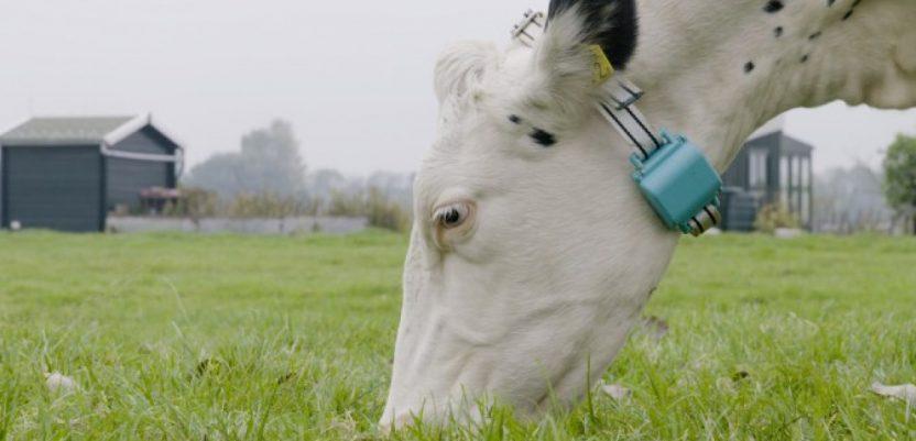 Uzgajanje krava uz pomoć veštačke inteligencije