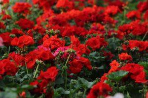 Proizvodnja cveća – biznis i zadovoljstvo