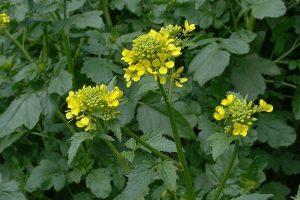 Slačica – retka biljka na našim njivama