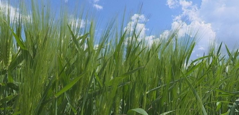 Negativan uticaj visokih temperatura na pšenicu