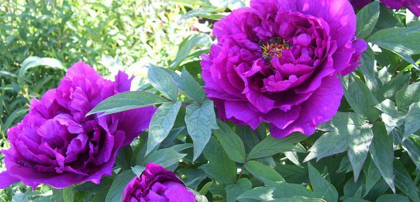 Božur – simbol ljubavi, sreće i bogatstva