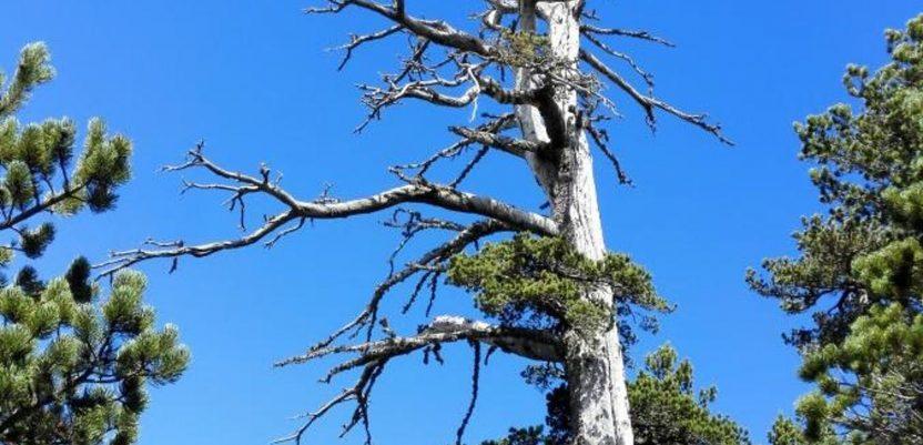 Najstarije drvo u Evropi ima 1.230 godina