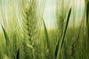 Još rano za prognoziranje cene pšenice