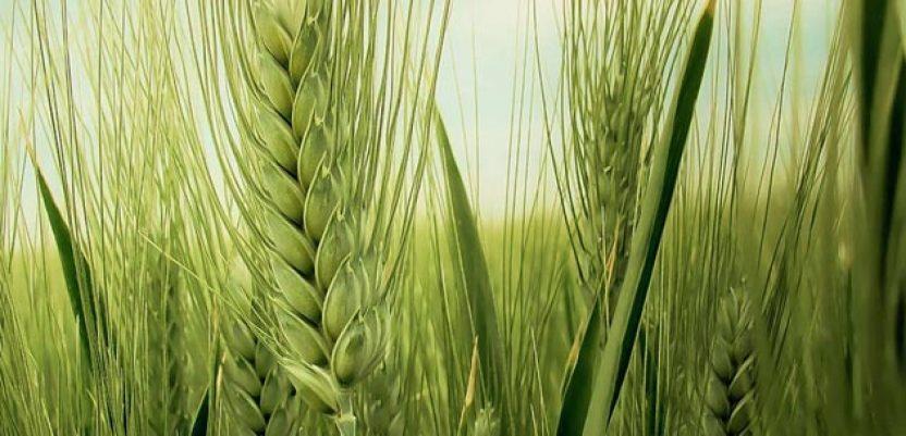 Pšenici dosta kiše – treba zaštititi klas od bolesti