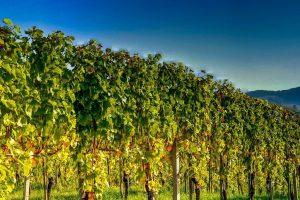 Vršac razvija vinski turizam