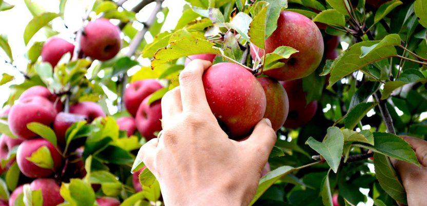 Nude 1.000 evra za branje voća u Slovačkoj