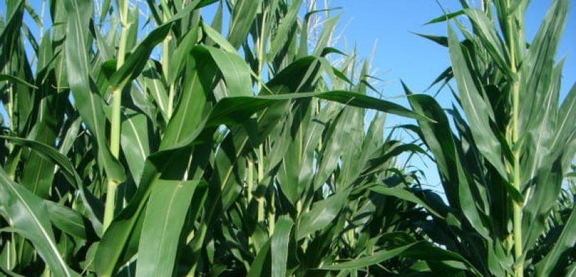 Kukuruz obećava rekordne prinose
