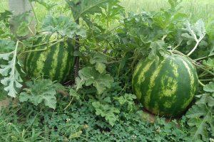 Domaća lubenica nema konkurenciju
