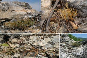 Na Staroj planini otkrivena nova vrsta biljke