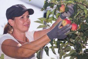Hrvatskoj potrebni berači jabuka