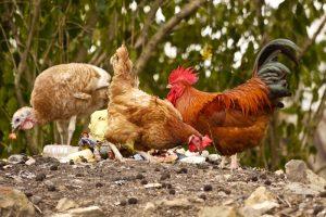Organski otpad u ishrani živine