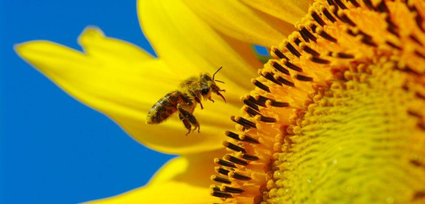 Pčelarski dan suncokreta u Pančevu