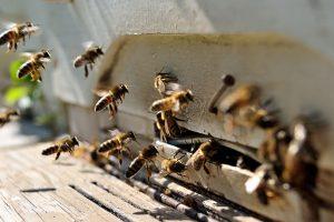 A šta ako pčele nestanu?