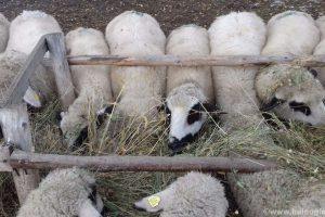 Loša cena ubija volju za uzgojem ovaca