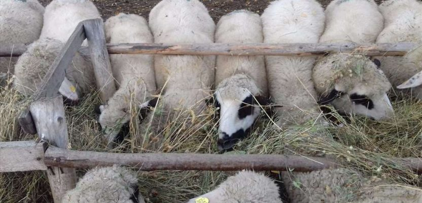 Ovčarstvo u Srbiji u usponu, dok broj goveda opada