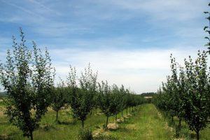 Žitnica Pomoravlja prerasta u voćnjake