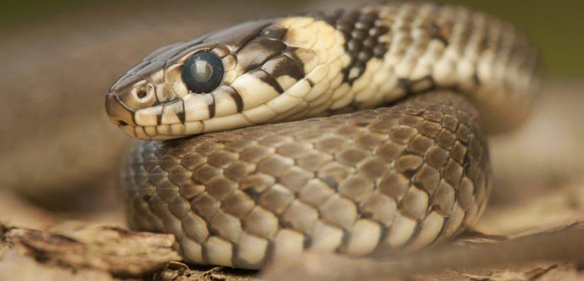 Napravljena mapa opasnosti od zmija
