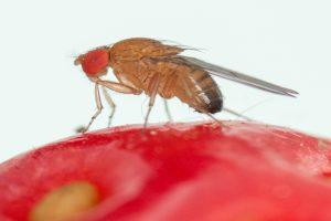 Azijska mušica – noćna mora naših voćara