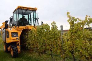 U Vršačkim vinogradima grožđe beru kombajni