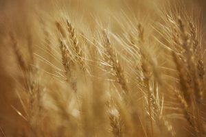 Vreli talas devastirao polja pšenice u Evropi