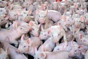 Zbog svinja strah za životnu sredinu u Španiji