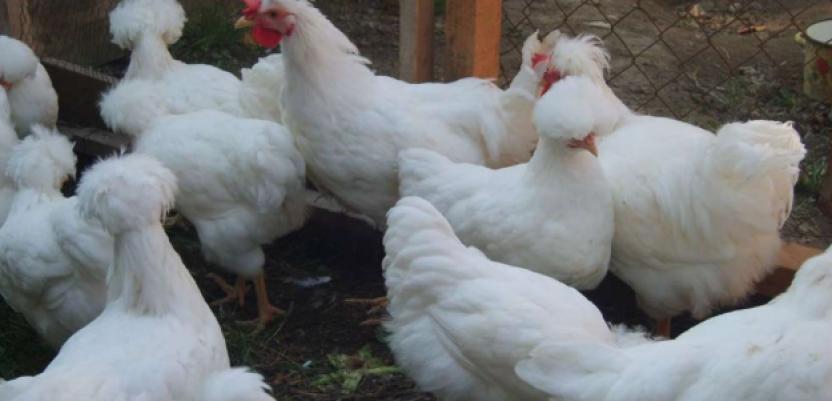 Somborska kaporka odlična za proizvodnju jaja i mesa