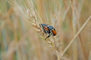 Insekti će jesti više žitarica?