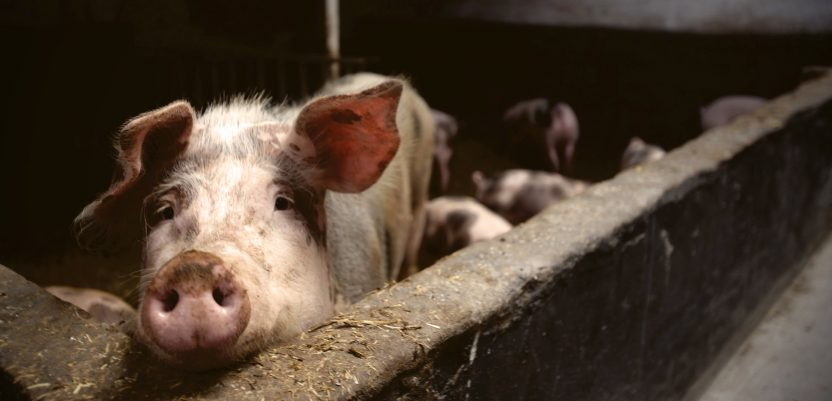 FAO: Afrička svinjska groznica preti da se proširi Azijom