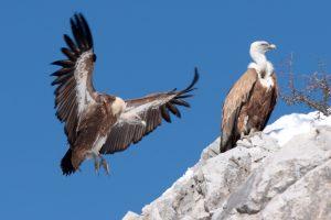 Satelitsko praćenje orlova u kanjonu Uvca