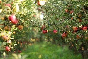 Sačekati bolju cenu jabuka