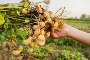 Koliko je profitabilna proizvodnja kikirikija?