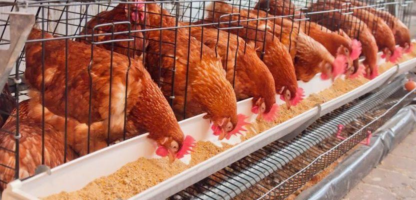 EU: Borci za dobrobit životinja traže zabranu kaveza