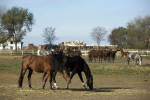 U Srbiji 16.000 konja, dogodine licence za pastuve
