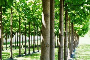 Drvo Paulovnija – brzorastuće i profitabilno