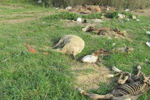Srbija zatrpana leševima životinja