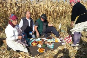 Berba kukuruza na starinski način