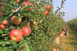 Berba jabuka u Beloj Crkvi obustavljen