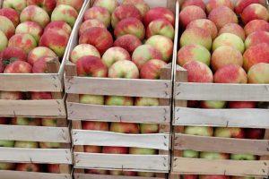 Berbu jabuke usporio nedostatak gajbica