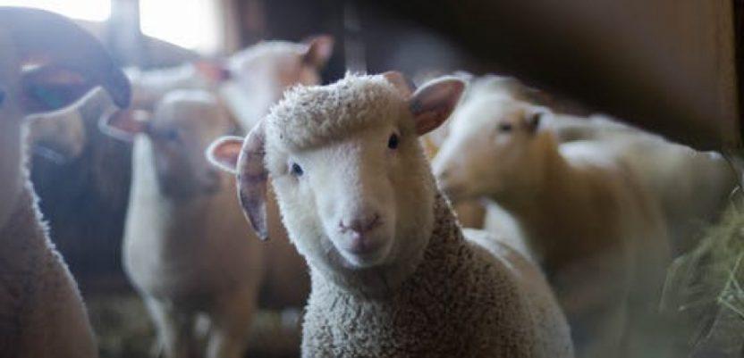 Staroplaninska jagnjetina spremna za praznike