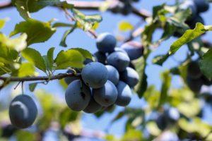 Pooštreni kriterijumi za izvoz voća u Rusiju