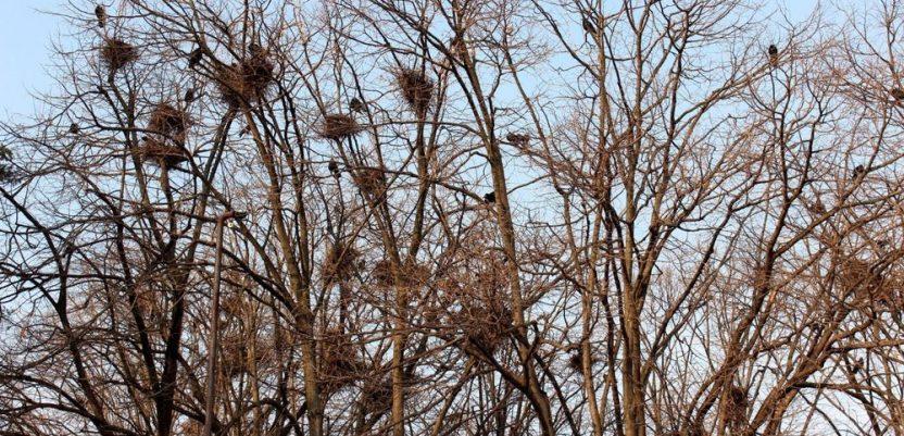 U Jagodinu na zimovanje stiglo 10.000 vrana