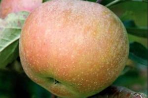 Stare sorte voća su kulturno-istorijsko blago jednog naroda
